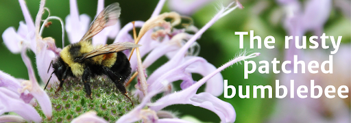 """Bee on flower with overlying text reading """"Rusty Patched Bumblebee"""""""